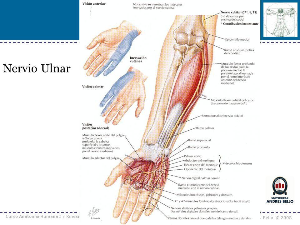 Nervio Ulnar Curso Anatomía Humana I / Kinesiología