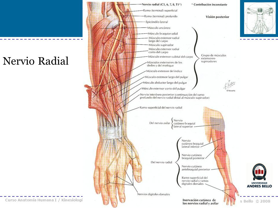 Nervio Radial Curso Anatomía Humana I / Kinesiología