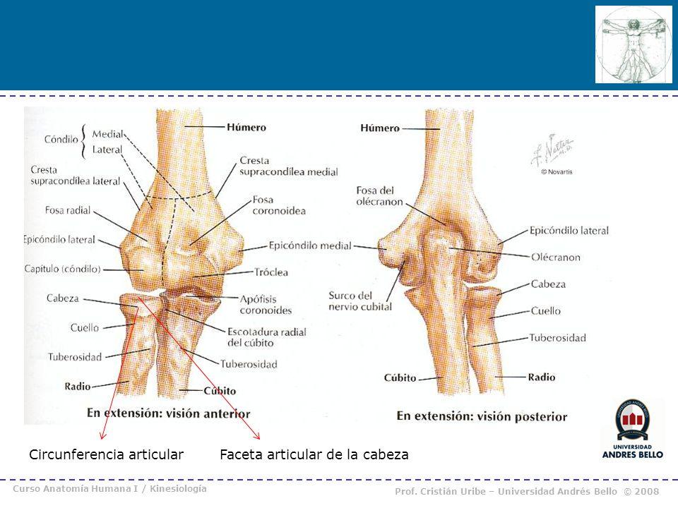 Circunferencia articular Faceta articular de la cabeza