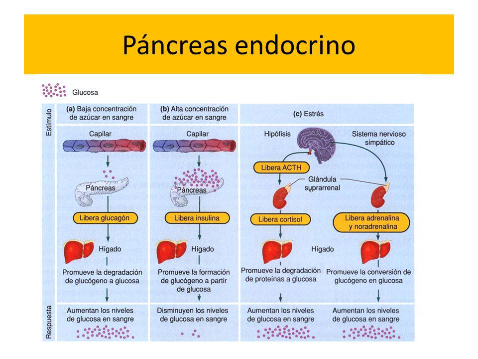 Páncreas endocrino