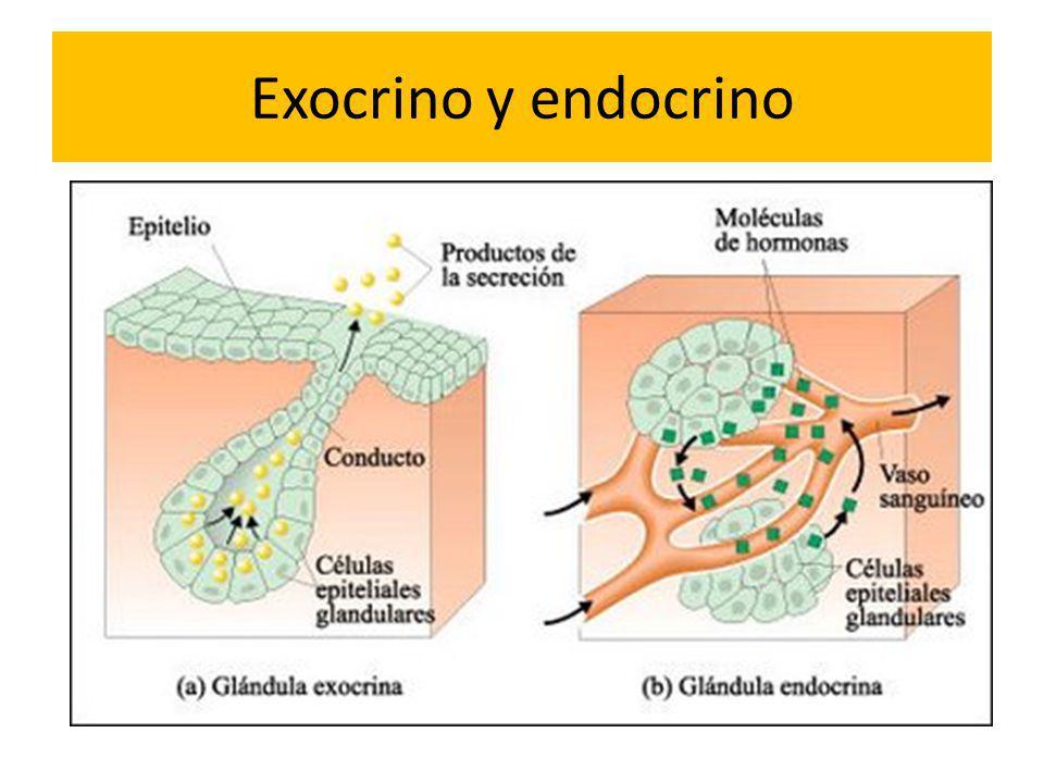 Exocrino y endocrino