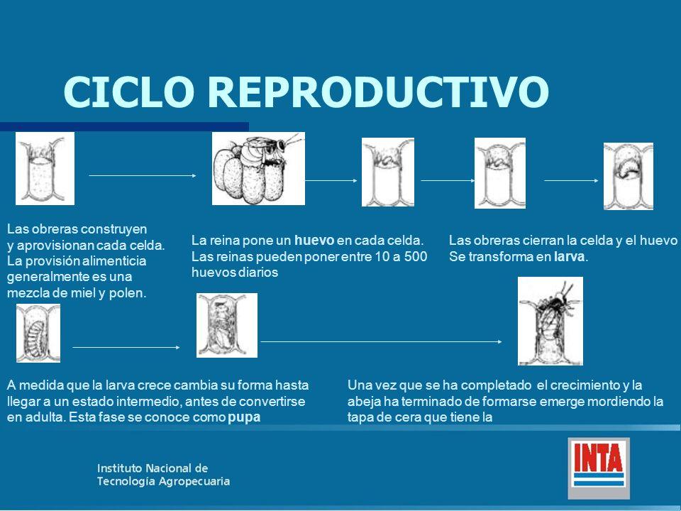 CICLO REPRODUCTIVO Las obreras construyen y aprovisionan cada celda.