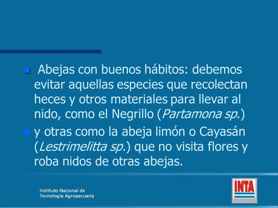 Abejas con buenos hábitos: debemos evitar aquellas especies que recolectan heces y otros materiales para llevar al nido, como el Negrillo (Partamona sp.)