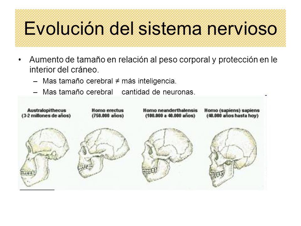 Evolución del sistema nervioso