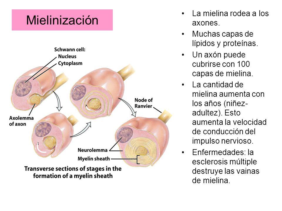 Mielinización La mielina rodea a los axones.