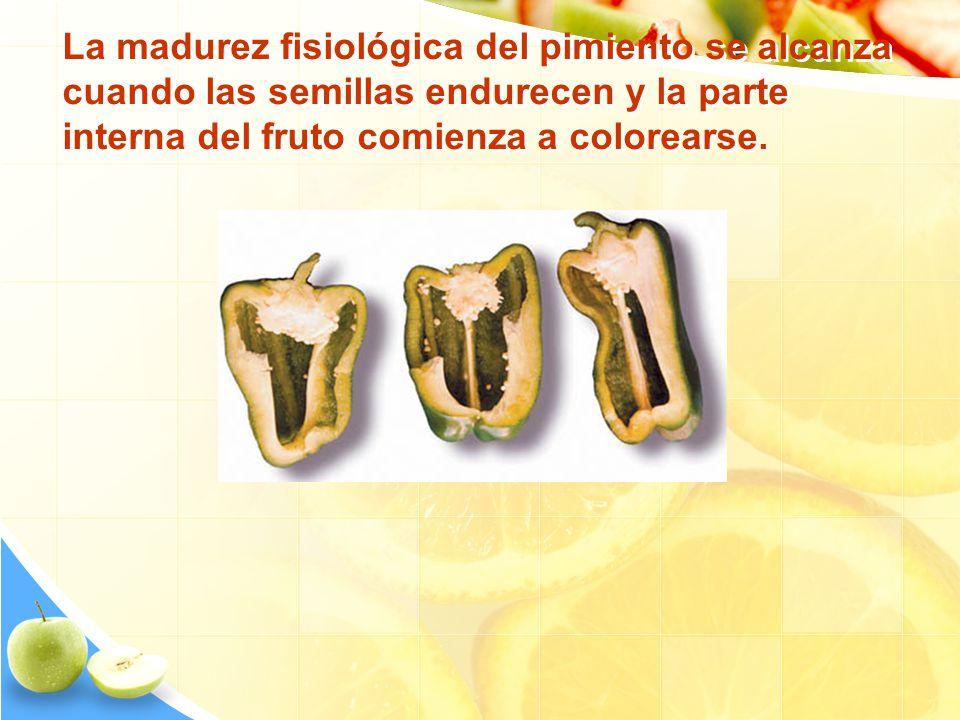 La madurez fisiológica del pimiento se alcanza cuando las semillas endurecen y la parte interna del fruto comienza a colorearse.