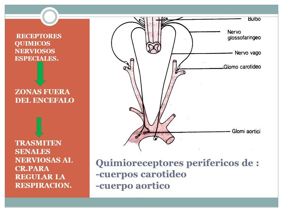 Quimioreceptores perifericos de : -cuerpos carotideo -cuerpo aortico