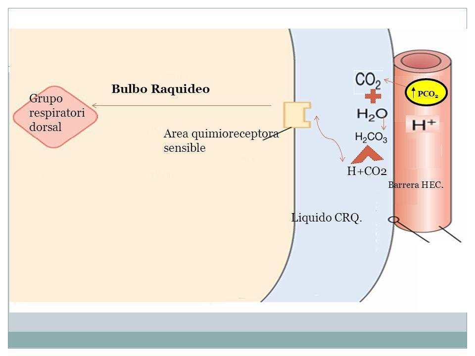 ZZz Bulbo Raquideo Grupo respiratori dorsal