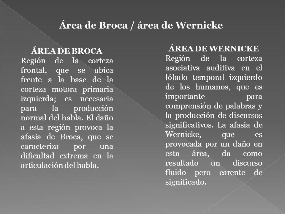Área de Broca / área de Wernicke