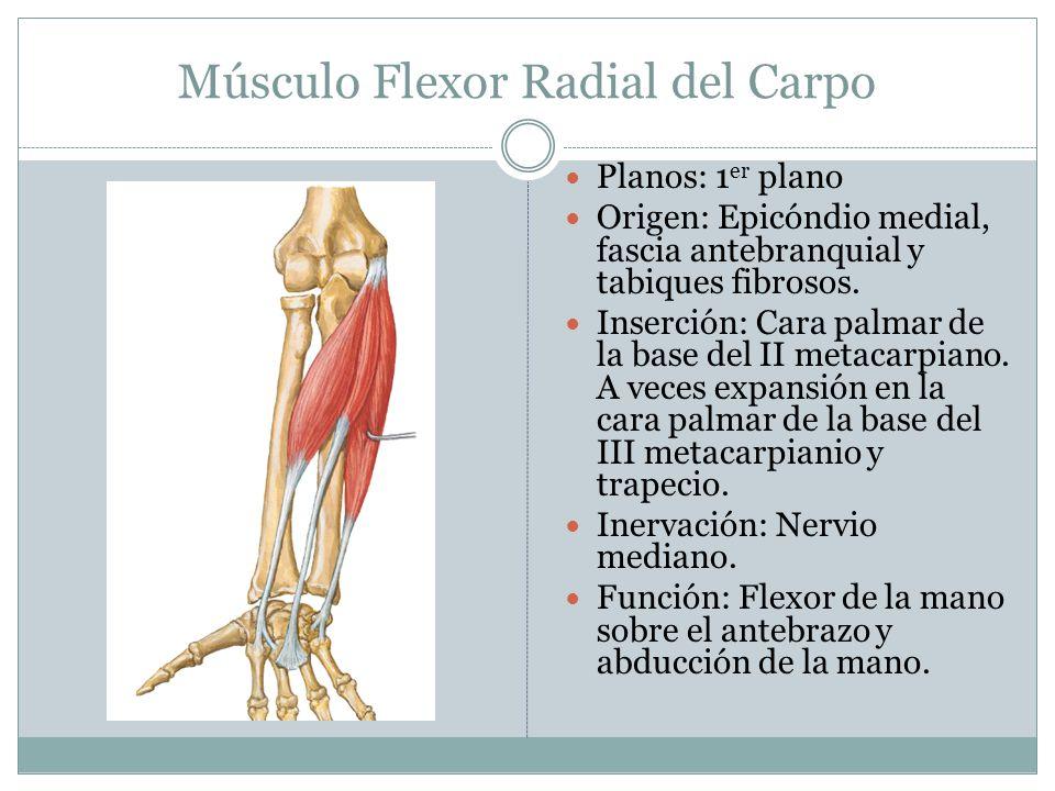 Músculo Flexor Radial del Carpo