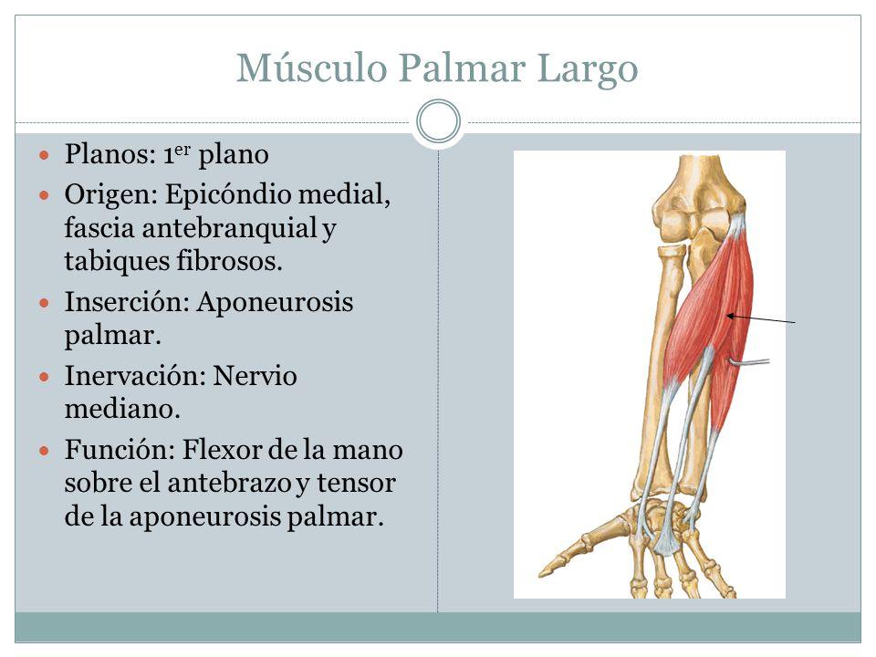 Músculo Palmar Largo Planos: 1er plano