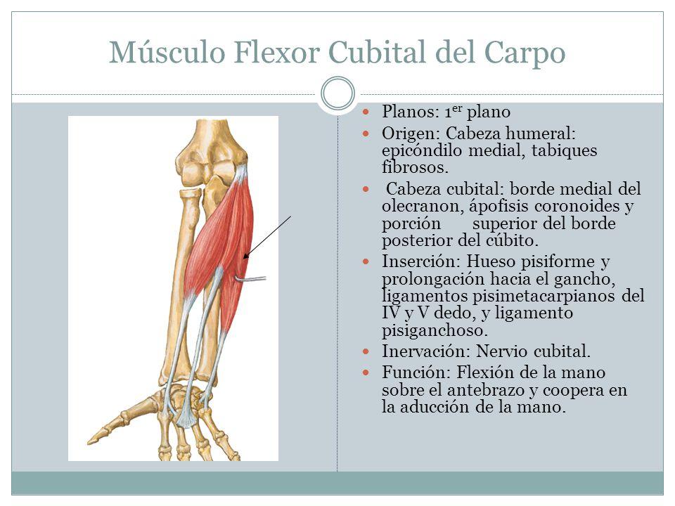 Músculo Flexor Cubital del Carpo