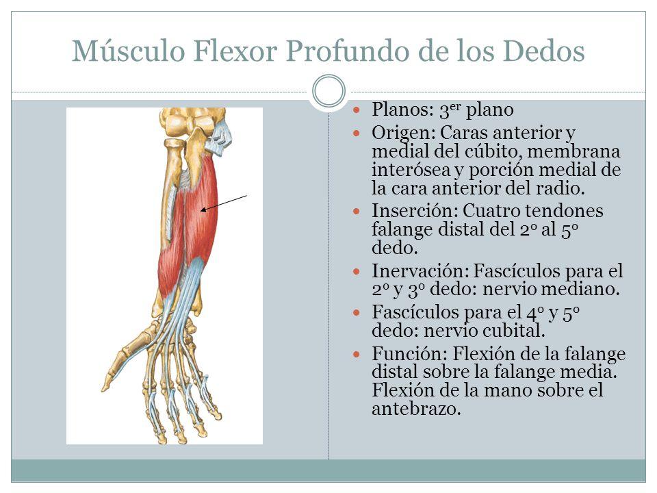 Músculo Flexor Profundo de los Dedos