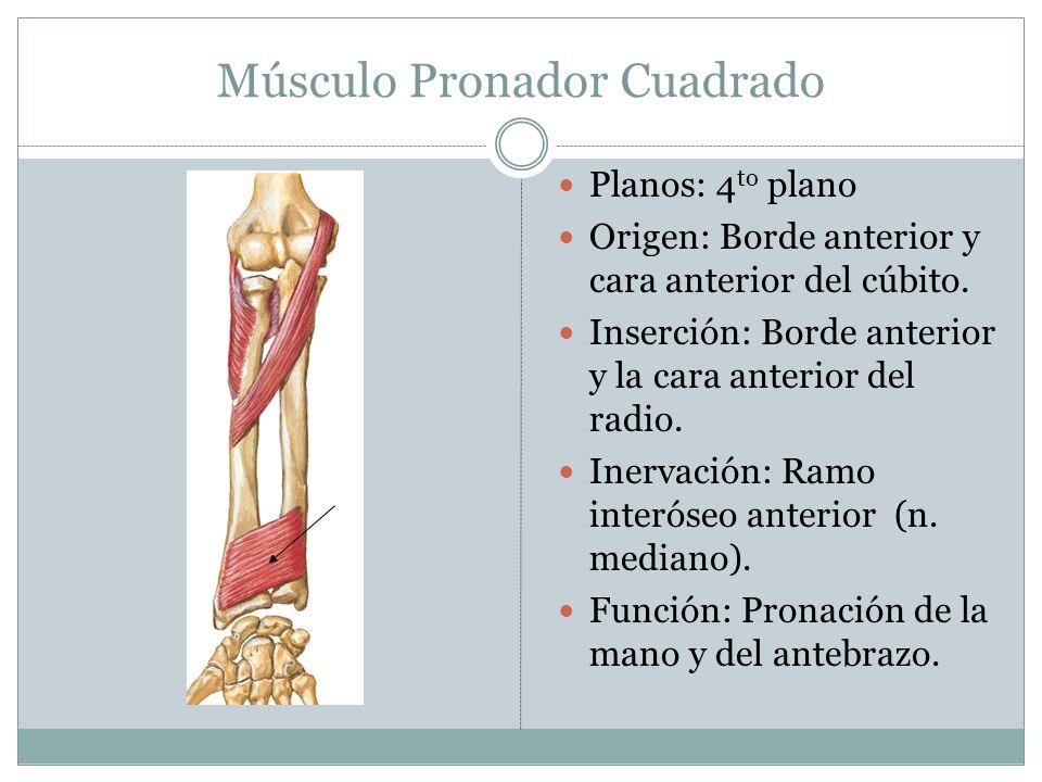 Músculo Pronador Cuadrado