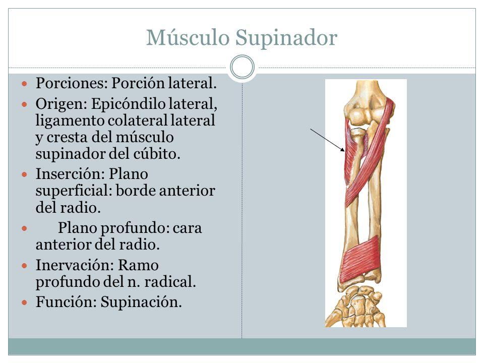 Músculo Supinador Porciones: Porción lateral.