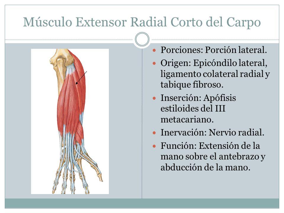 Músculo Extensor Radial Corto del Carpo
