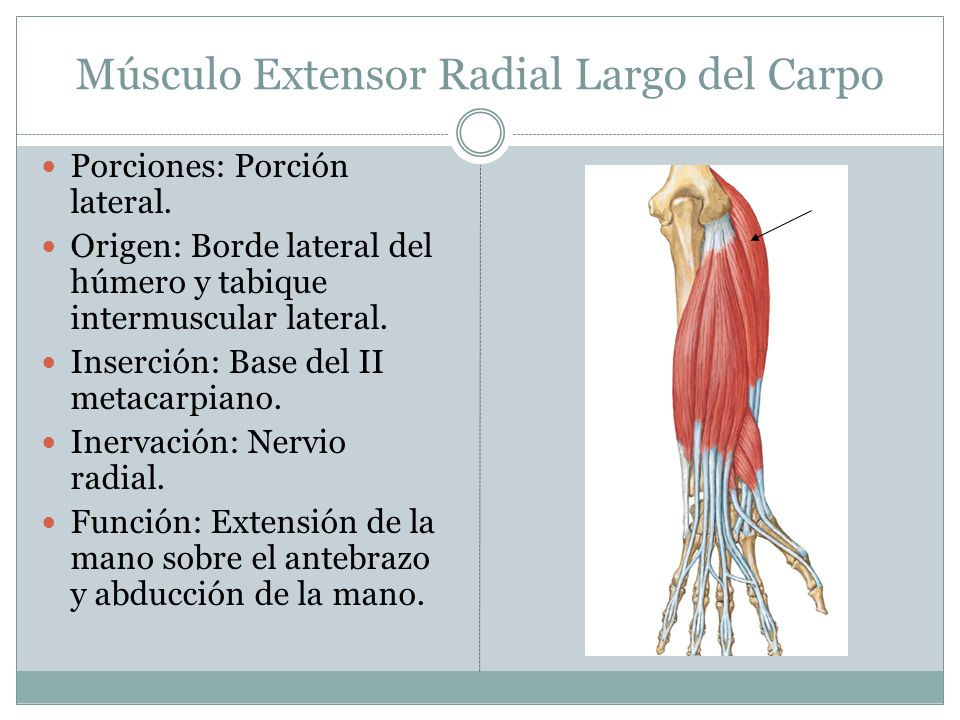 Músculo Extensor Radial Largo del Carpo