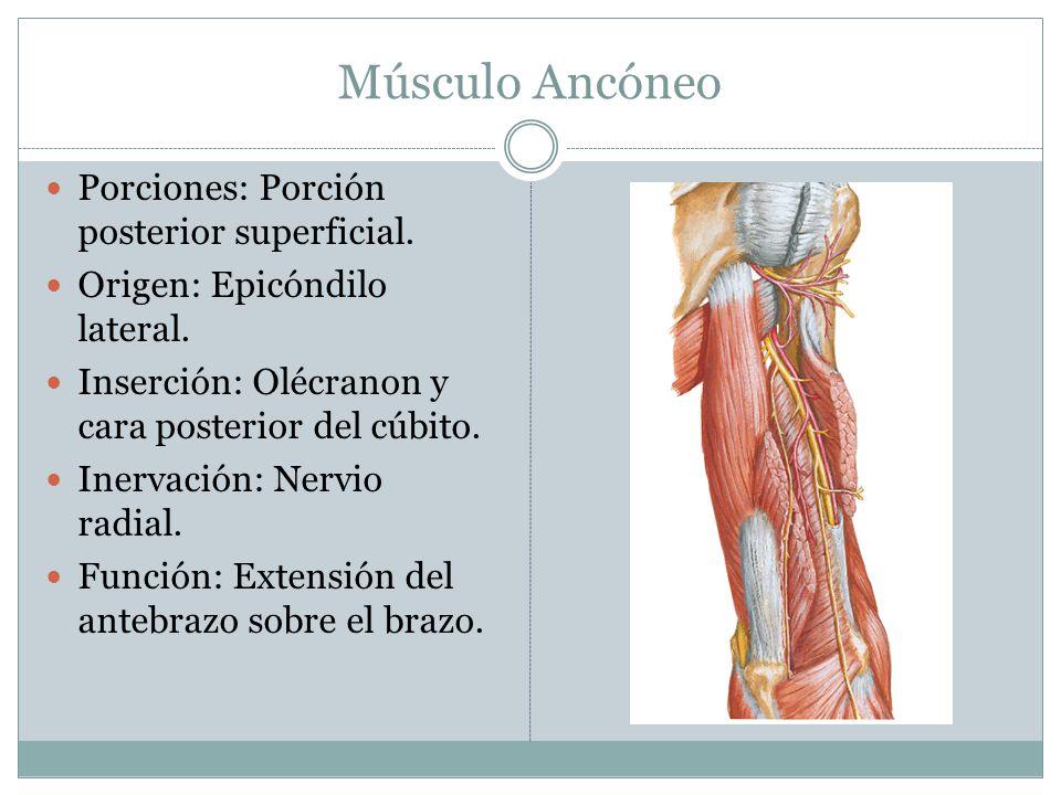 Músculo Ancóneo Porciones: Porción posterior superficial.