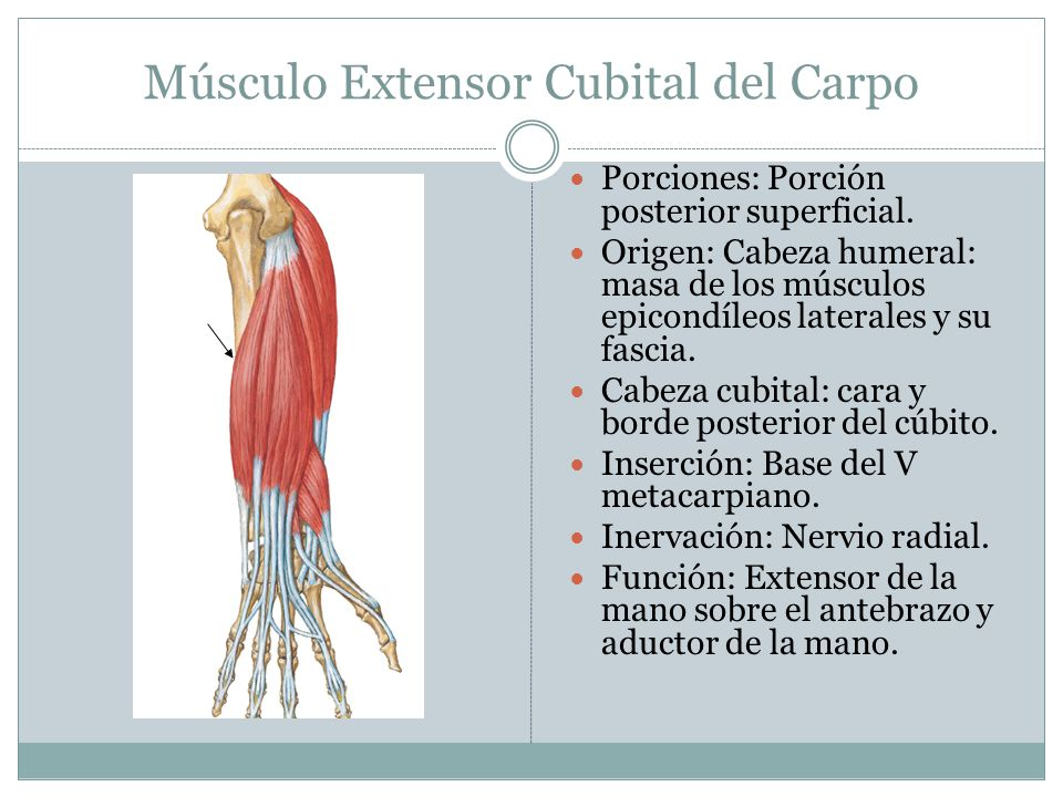 Músculo Extensor Cubital del Carpo