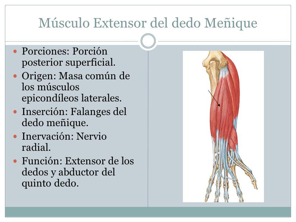 Músculo Extensor del dedo Meñique