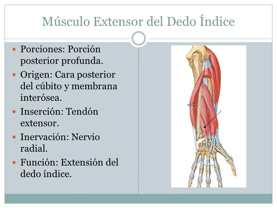 Músculo Extensor del Dedo Índice