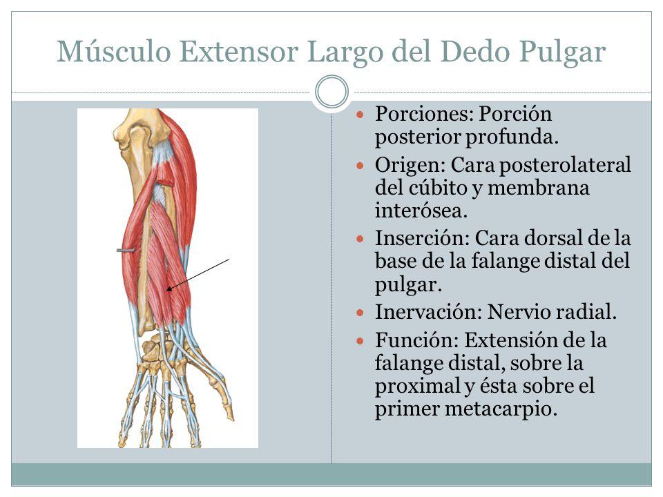Músculo Extensor Largo del Dedo Pulgar