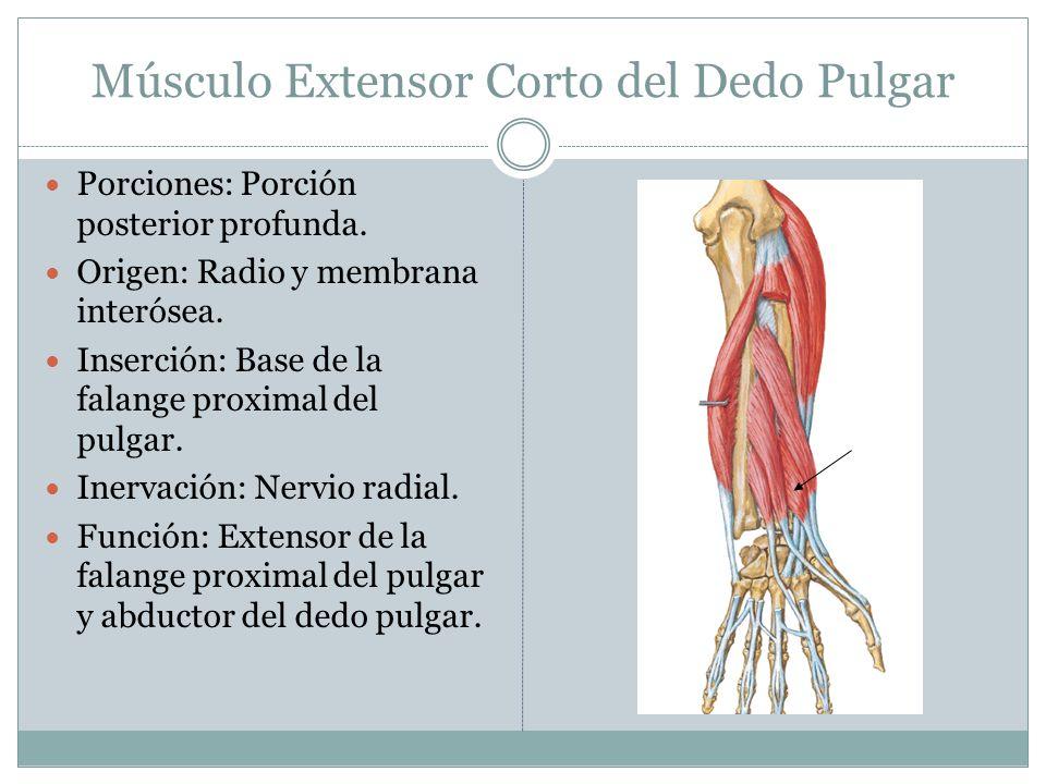 Músculo Extensor Corto del Dedo Pulgar