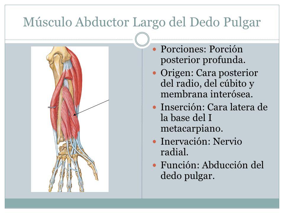 Músculo Abductor Largo del Dedo Pulgar
