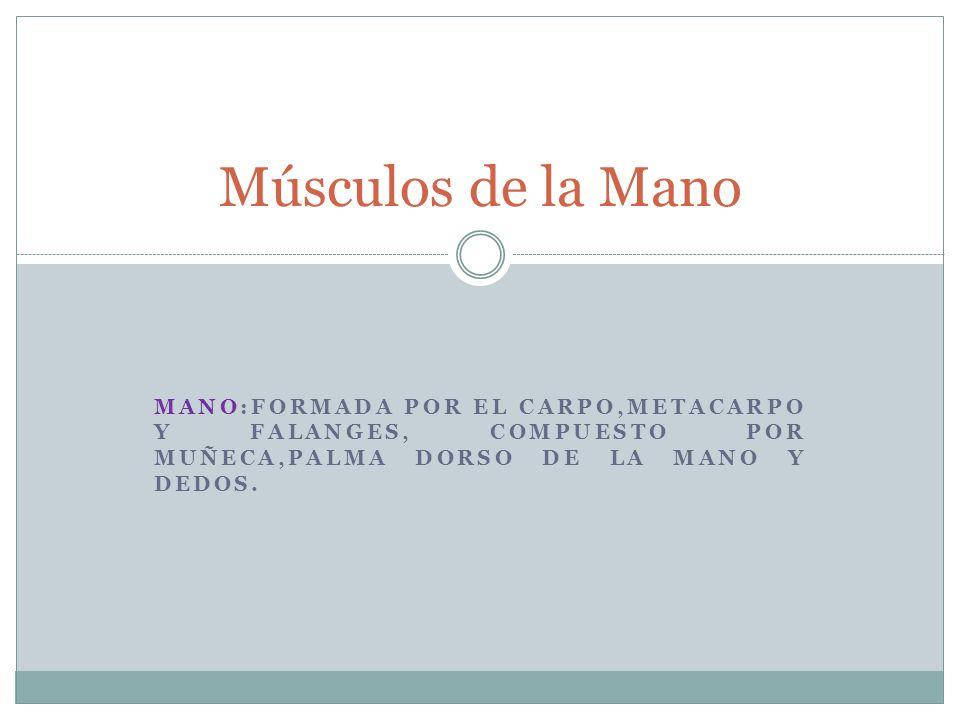 Músculos de la Mano MANO:FORMADA POR EL CARPO,METACARPO Y FALANGES, COMPUESTO POR MUñECA,PALMA DORSO DE LA MANO Y DEDOS.