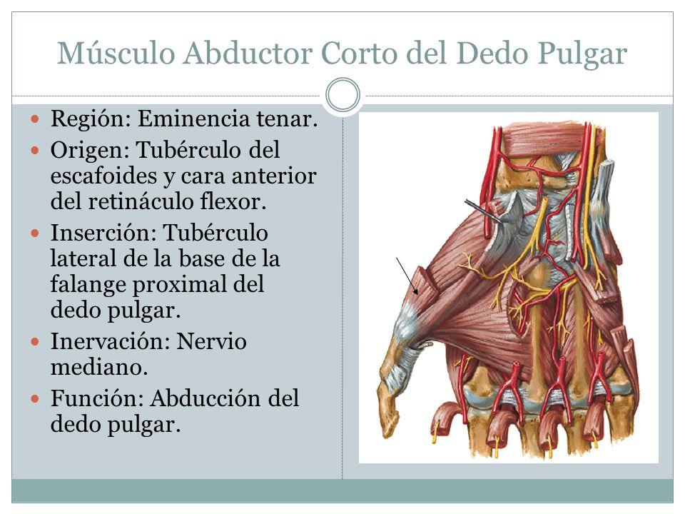 Músculo Abductor Corto del Dedo Pulgar