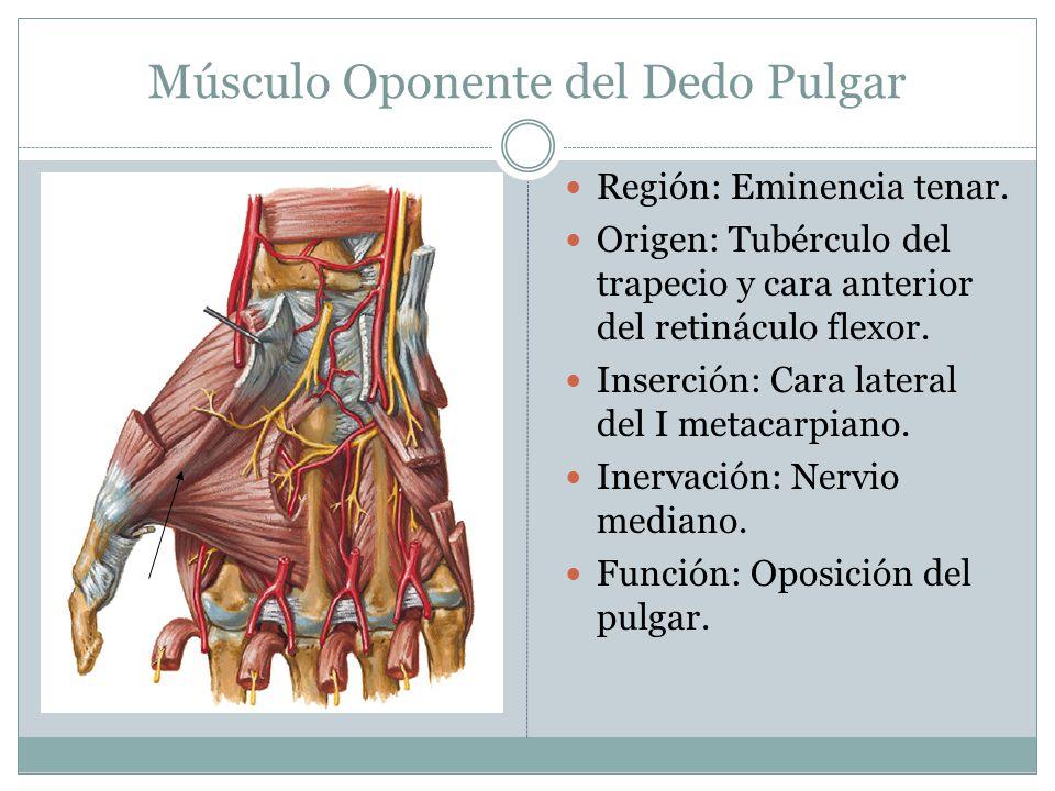 Músculo Oponente del Dedo Pulgar