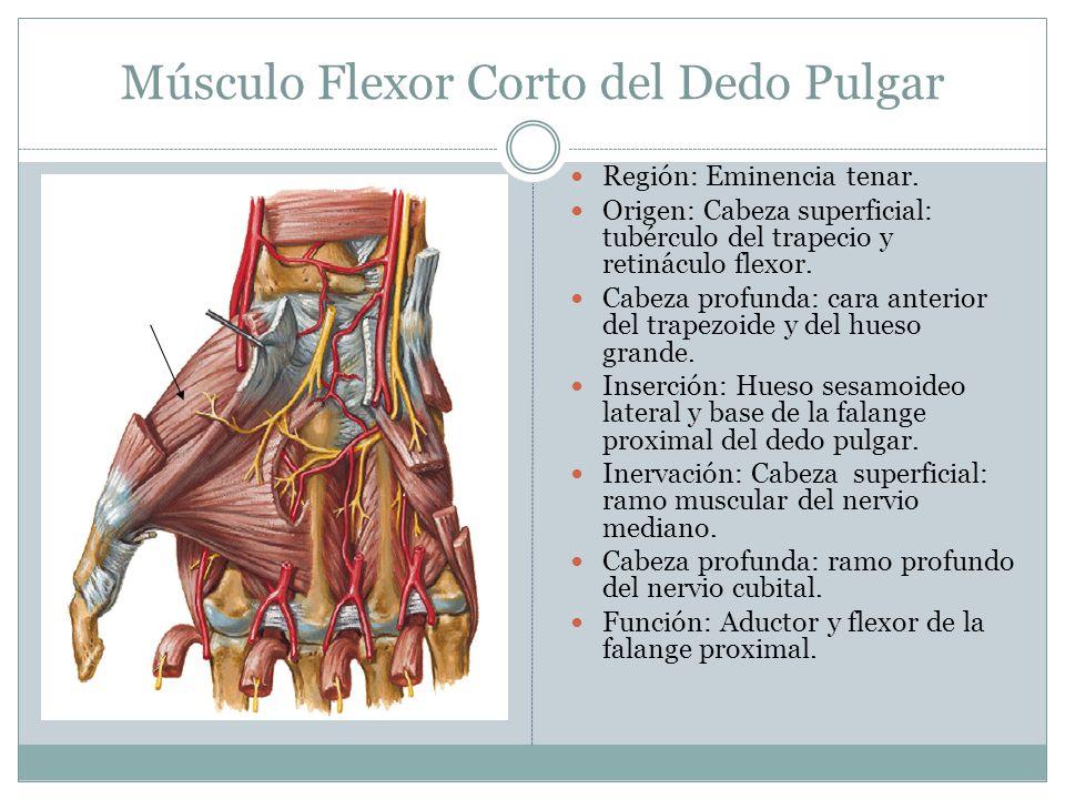 Músculo Flexor Corto del Dedo Pulgar