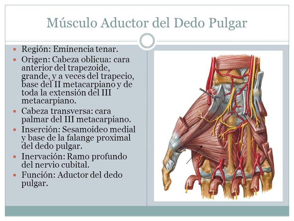 Músculo Aductor del Dedo Pulgar