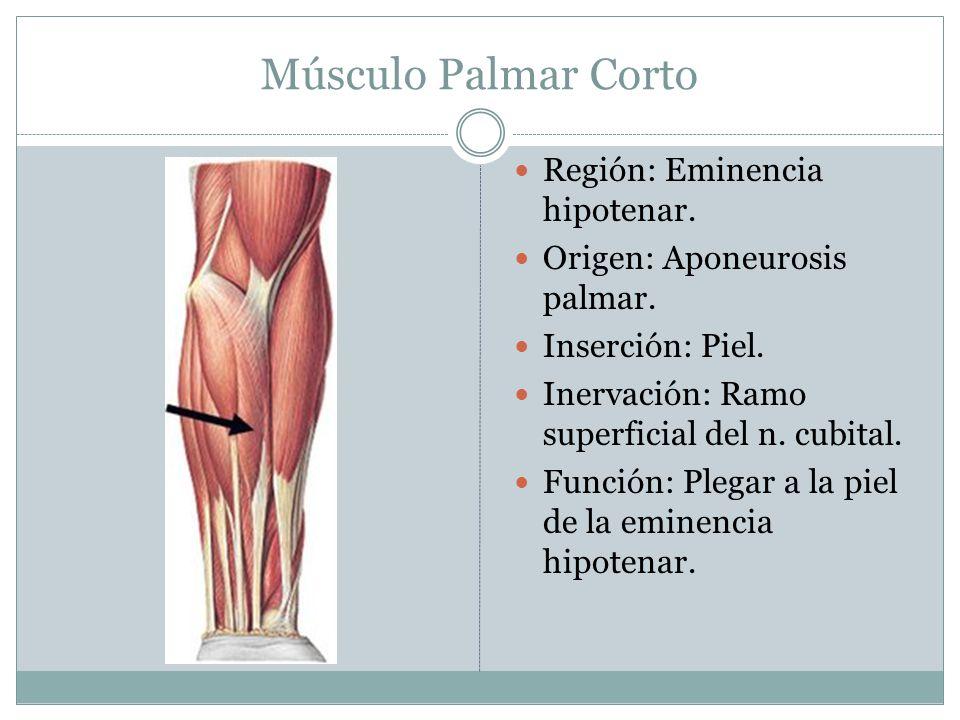 Músculo Palmar Corto Región: Eminencia hipotenar.