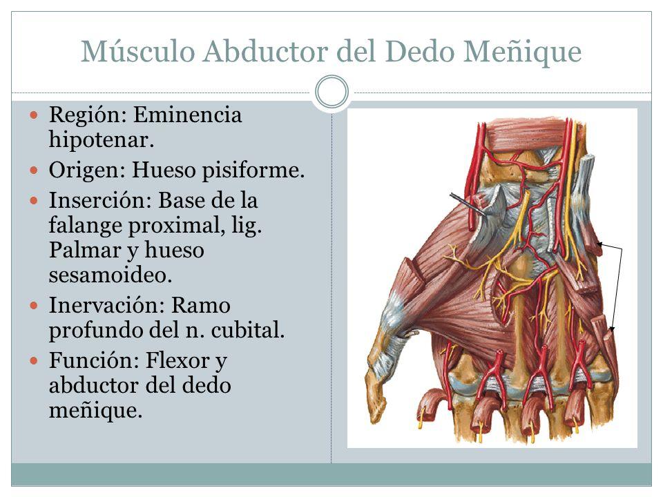 Músculo Abductor del Dedo Meñique