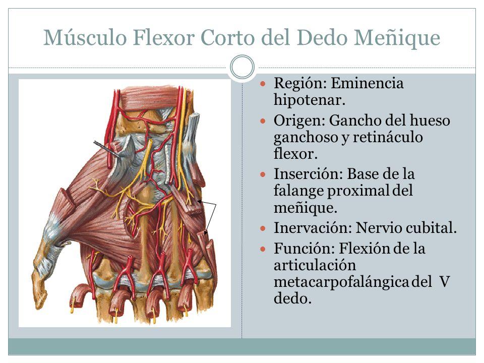 Músculo Flexor Corto del Dedo Meñique