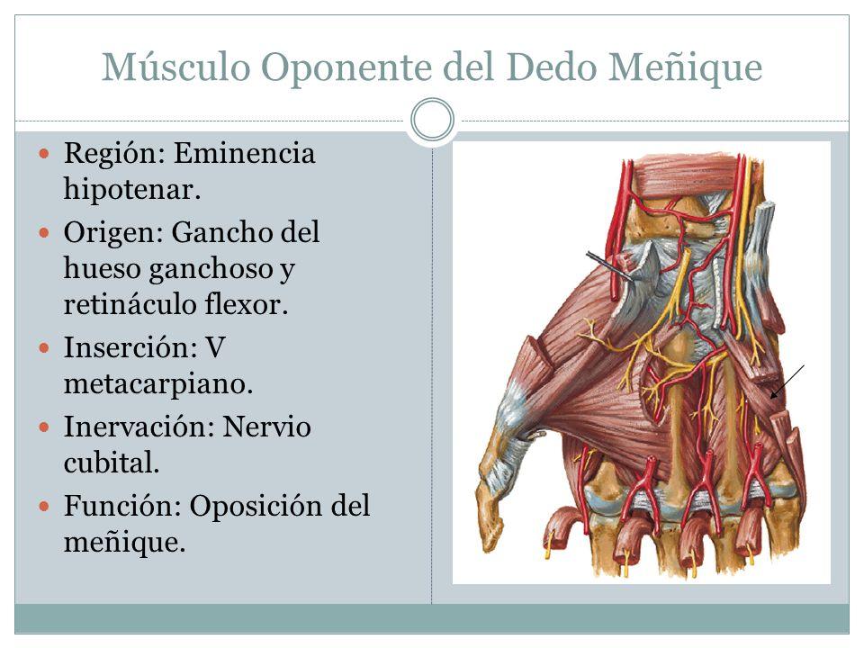 Músculo Oponente del Dedo Meñique