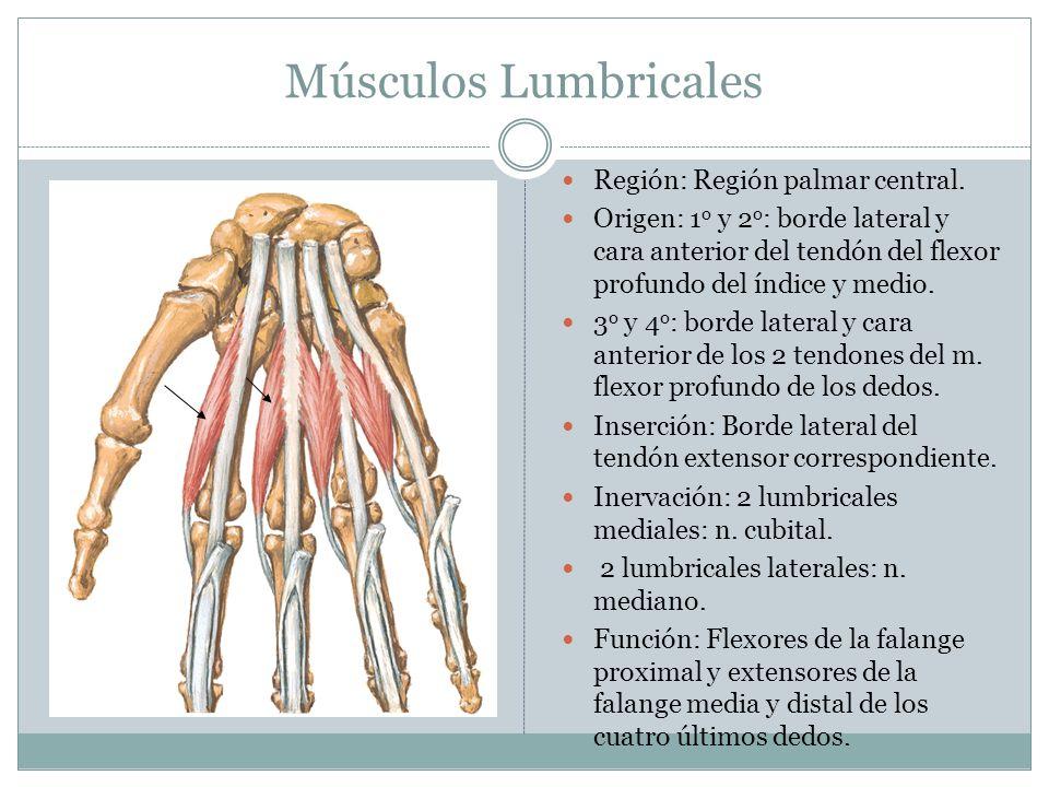 Músculos Lumbricales Región: Región palmar central.