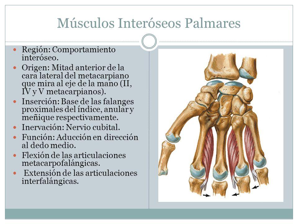 Músculos Interóseos Palmares