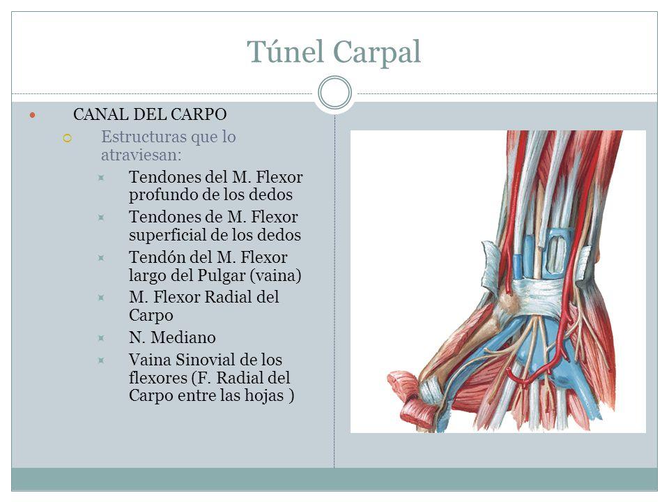 Túnel Carpal CANAL DEL CARPO Estructuras que lo atraviesan: