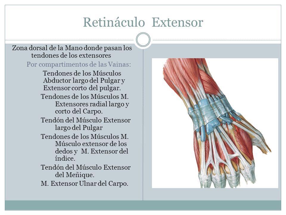 Retináculo Extensor Zona dorsal de la Mano donde pasan los tendones de los extensores. Por compartimentos de las Vainas: