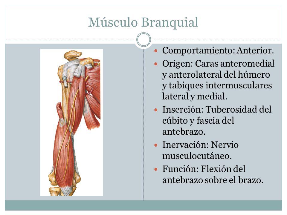 Músculo Branquial Comportamiento: Anterior.