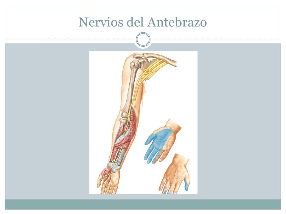 Nervios del Antebrazo