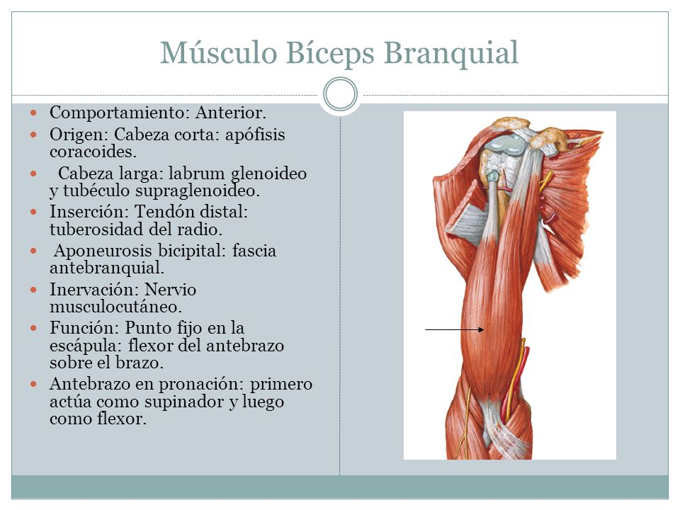 Músculo Bíceps Branquial