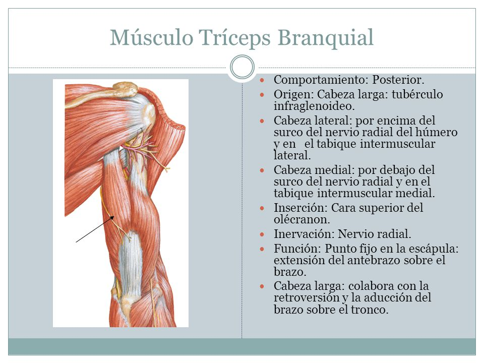 Famoso Donde Se Encuentra El Músculo Deltoides Ornamento - Anatomía ...