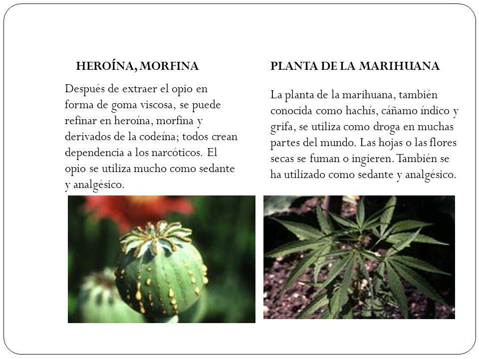 HEROÍNA, MORFINA PLANTA DE LA MARIHUANA.