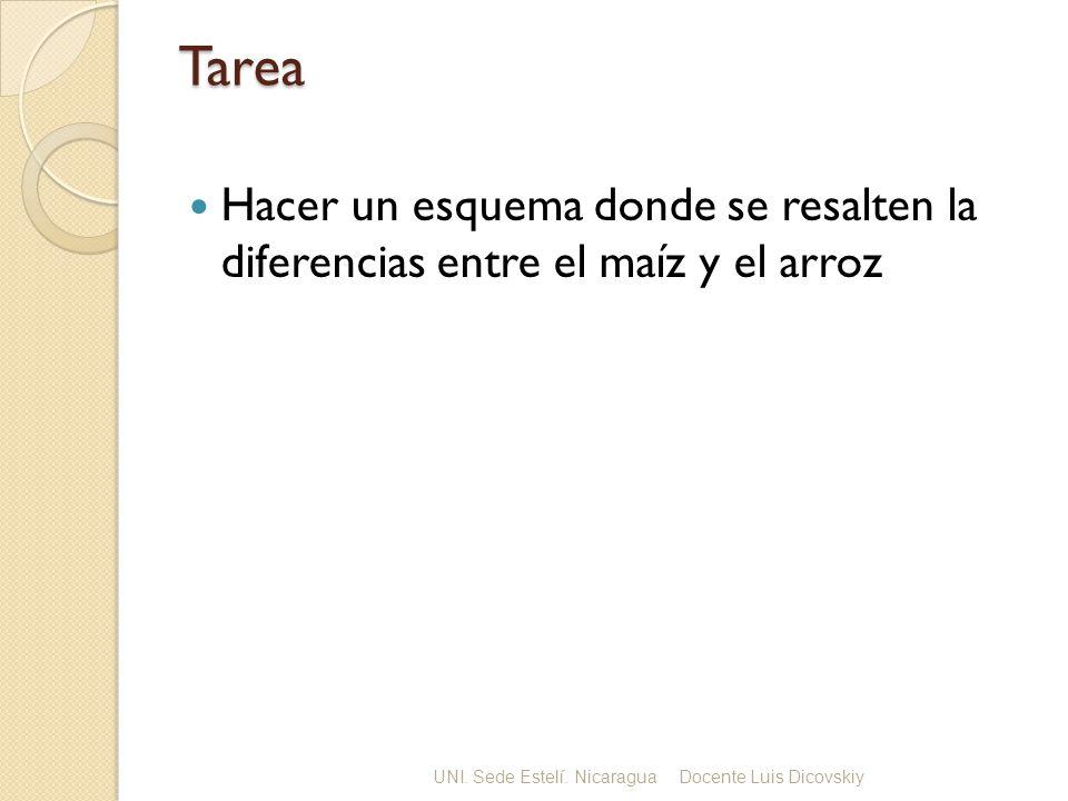 Tarea Hacer un esquema donde se resalten la diferencias entre el maíz y el arroz. UNI. Sede Estelí. Nicaragua.