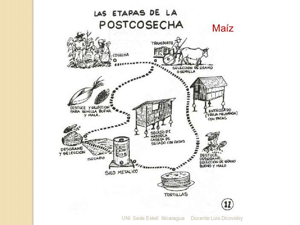 Maíz UNI. Sede Estelí. Nicaragua Docente Luis Dicovskiy