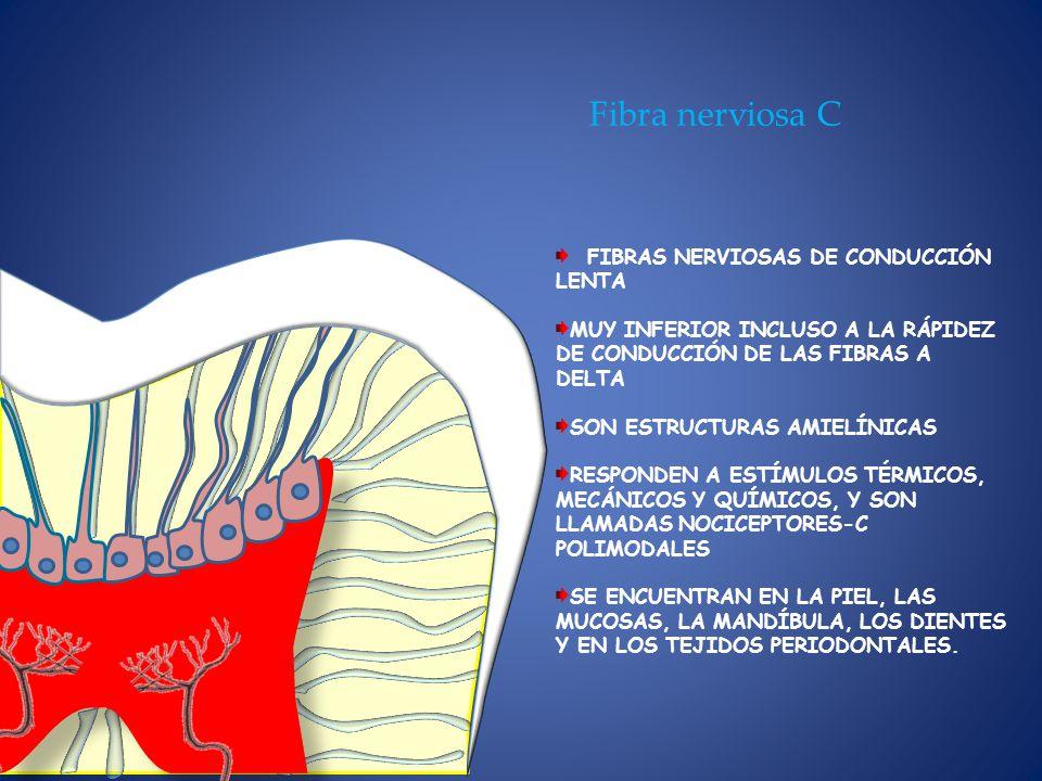 Fibra nerviosa C FIBRAS NERVIOSAS DE CONDUCCIÓN LENTA