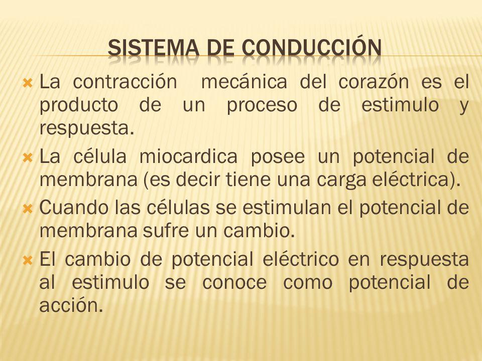 Sistema de conducción La contracción mecánica del corazón es el producto de un proceso de estimulo y respuesta.